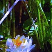 Pond Lily 28 Art Print
