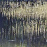 Pond Reflections Art Print