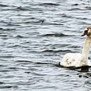 Pond Swan Art Print
