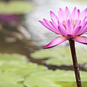 Pond With Pink Water Lily Flower Art Print