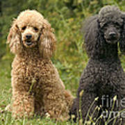 Poodle Dogs Art Print