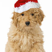 Poodle In Christmas Hat Art Print
