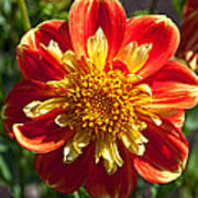 Pooh Dahlia Flower Art Print