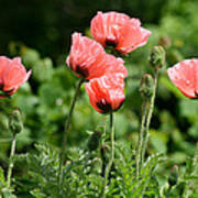 Poppies In My Garden Art Print