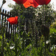 Poppies In The Sun Art Print by Stephen Norris
