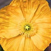 Poppy 25 Art Print