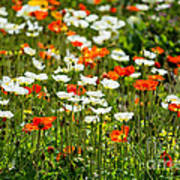 Poppy Fields - Beautiful Field Of Spring Poppy Flowers In Bloom. Art Print