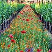 Poppy Lined Vineyard Art Print