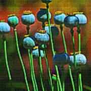 Poppy Seed Pods Art Print