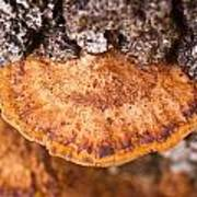 Poria Shelf Fungi 1 Art Print