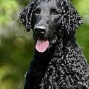 Portrait Black Curly Coated Retriever Dog Art Print