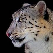 Portrait II Of A Snow Leopard Art Print