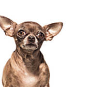 Portrait Of A Chocolate Chihuahua - The Art Print