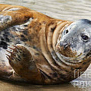 Portrait Of A Common Seal  Art Print