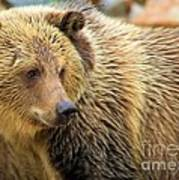 Portrait Of A Grizzly Art Print
