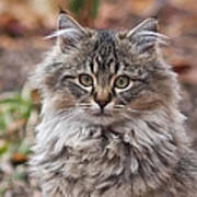 Portrait Of A Maine Coon Kitten Art Print