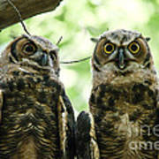 Portrait Of A Pair Of Owls Art Print