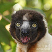 portrait of a sifaka from Madagascar Art Print