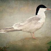 Portrait Of A Tern Art Print