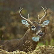 Portrait Of A White Tailed Buck Art Print