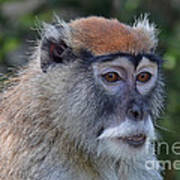 Portrait Of An Adult Patas Monkey II Art Print