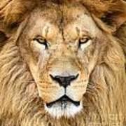Portrait Of Beautiful African Lion Art Print