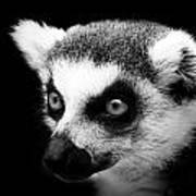 Portrait Of Lemur In Black And White Art Print