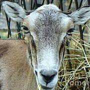 Portrait Of Mouflon Ewe Art Print