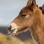 Portrait Of Newborn Foal Art Print
