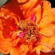 Portulaca Named Sundial Tangerine Art Print