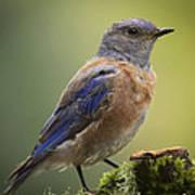Posing Bluebird Art Print