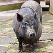 Potbelly Pig Standing Art Print