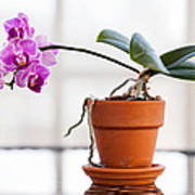 Potted Pink Orchid Art Print