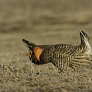 Prairie Chicken-9 Art Print by Thomas Young