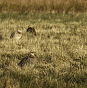 Prairie Chickens After The Boom Art Print by Thomas Young