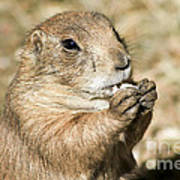 Prairie Dog Art Print