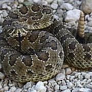 Prairie Rattlesnake South Dakota Badlands Art Print