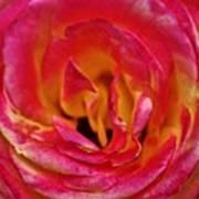 Precious Rose Art Print