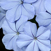 Prettiest Plumbago Art Print