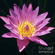 Pretty In Pink And Yellow Water Lily Art Print