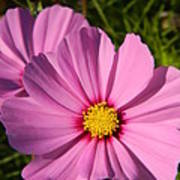 Pretty In Pink Cosmos Art Print