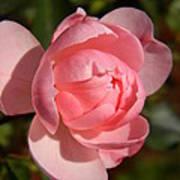 Pretty In Pink Rose Bud Art Print