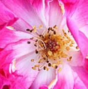 Pretty In Pink Rose Close Up Art Print