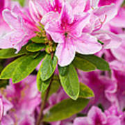 Pretty In Pink - Spring Flowers In Bloom. Art Print