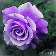 Pretty Lilac Rose Art Print