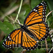 Pretty Monarch Art Print