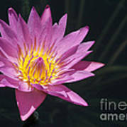 Pretty Pink And Yellow Water Lily Art Print