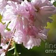 Pretty Pink Cherry Blossoms Art Print