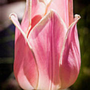 Pretty Pouting Pink Tulip Abstract Garden Art By Omaste Witkowsk Art Print