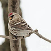 Pretty Redpoll Art Print